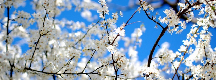 couverture-facebook-Blossoms-and-Blue