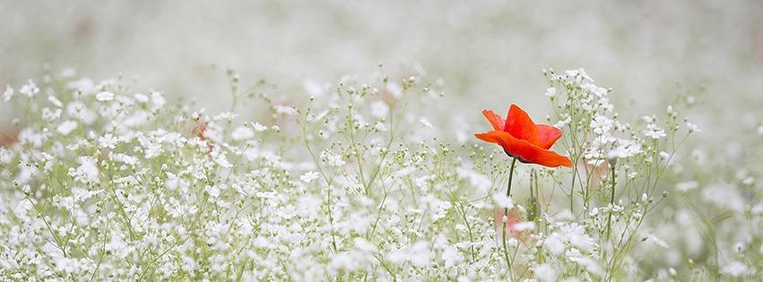 couverture facebook pavot gypsophile elegans couleur rouge blanc jardin poppy fbcouv. Black Bedroom Furniture Sets. Home Design Ideas