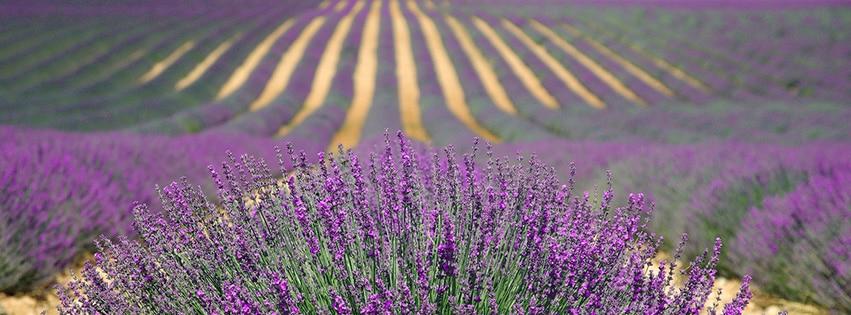 lavender-champs-lavande