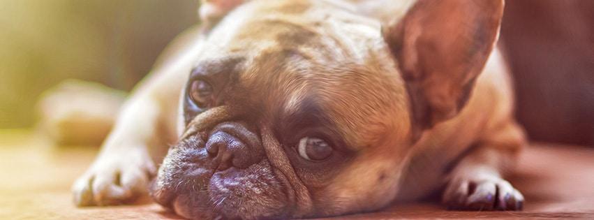 chien-bouledogue-français-dog