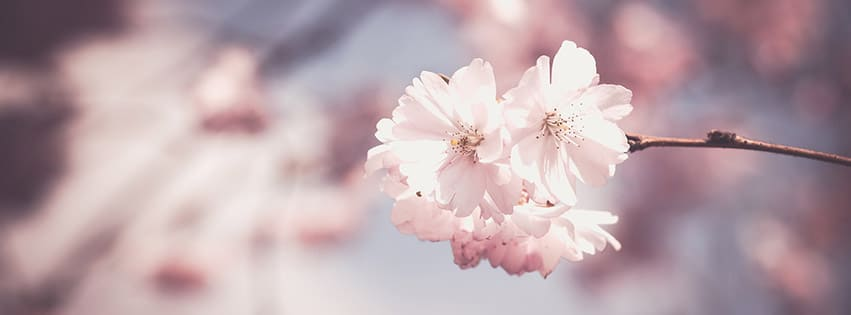 pink-rose-fleur-arbre-bloom-printemps-floraux-blanc