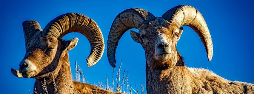 bighorn-moutons-béliers-animaux
