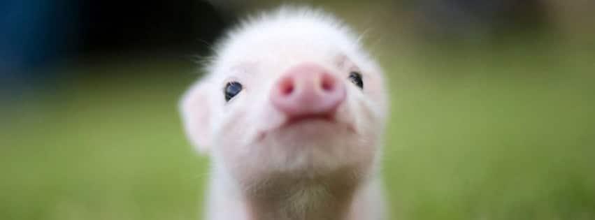 Comment ne pas craquer pour cette petite bouille de bébé cochon trop mignonne. Une couverture Facebook bébé cochon mignon...