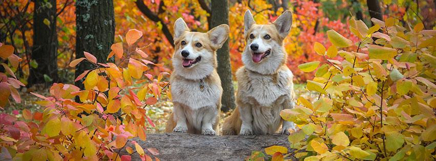 chiens journal amitié feuilles automne corgi fbcouv.com