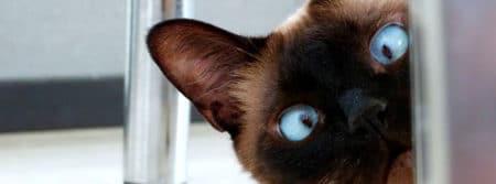 curieux yeux cat félin eyes fbcouv.com