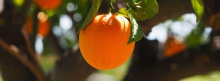 orange log tribu tronc arbre fruits fbcouv.com